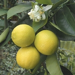 Lime, Palestine Sweet -5 Gallon