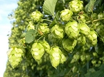 Cascade Hops - NEW PRODUCT