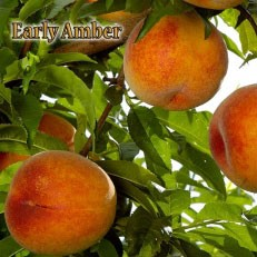 Peach, Early Amber