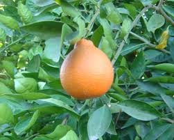 Tangelo, Minneola* (+) - 15 Gallon