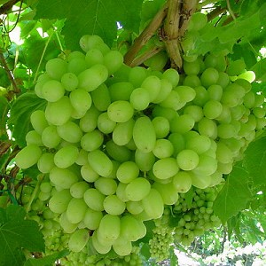 Grape - Green, Thompson Seedless